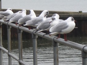 CST 20C Gulls in a Line