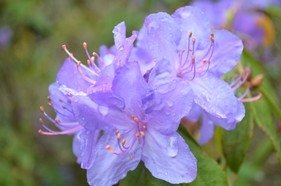 FLR 05C Blue Rhododendron